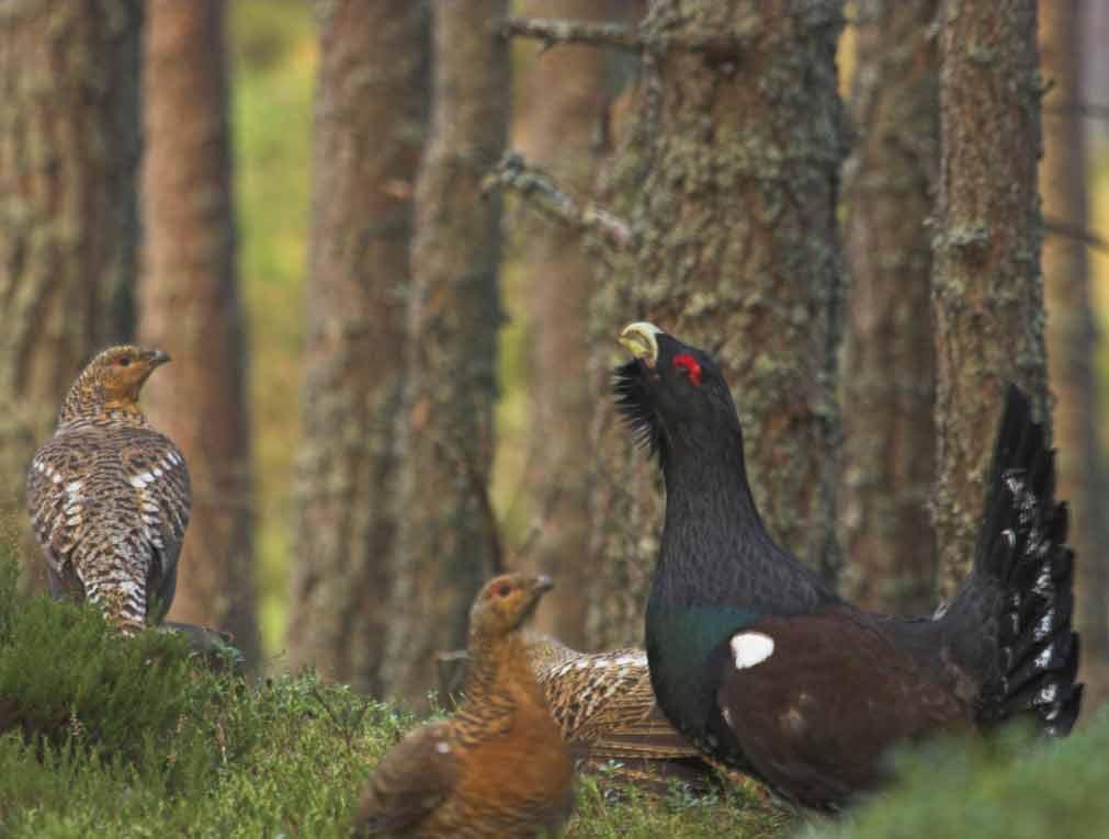 ...глухари птицы держатся в густых...