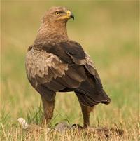 Підорлик малий (Aquila Pomarina) :: Пташиний світ України