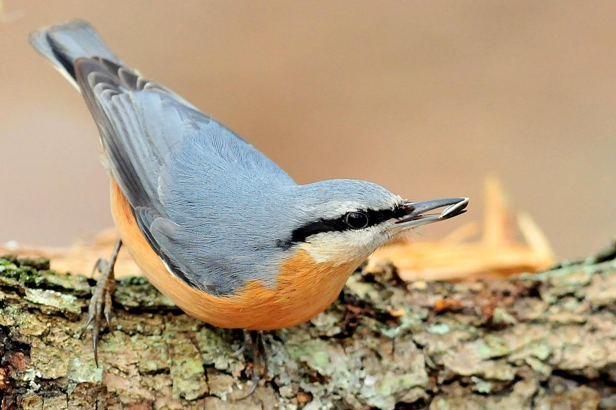 повзик птах 2016 року фото