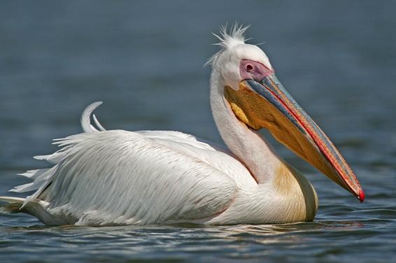 Пеликан (Pelecanus) фото